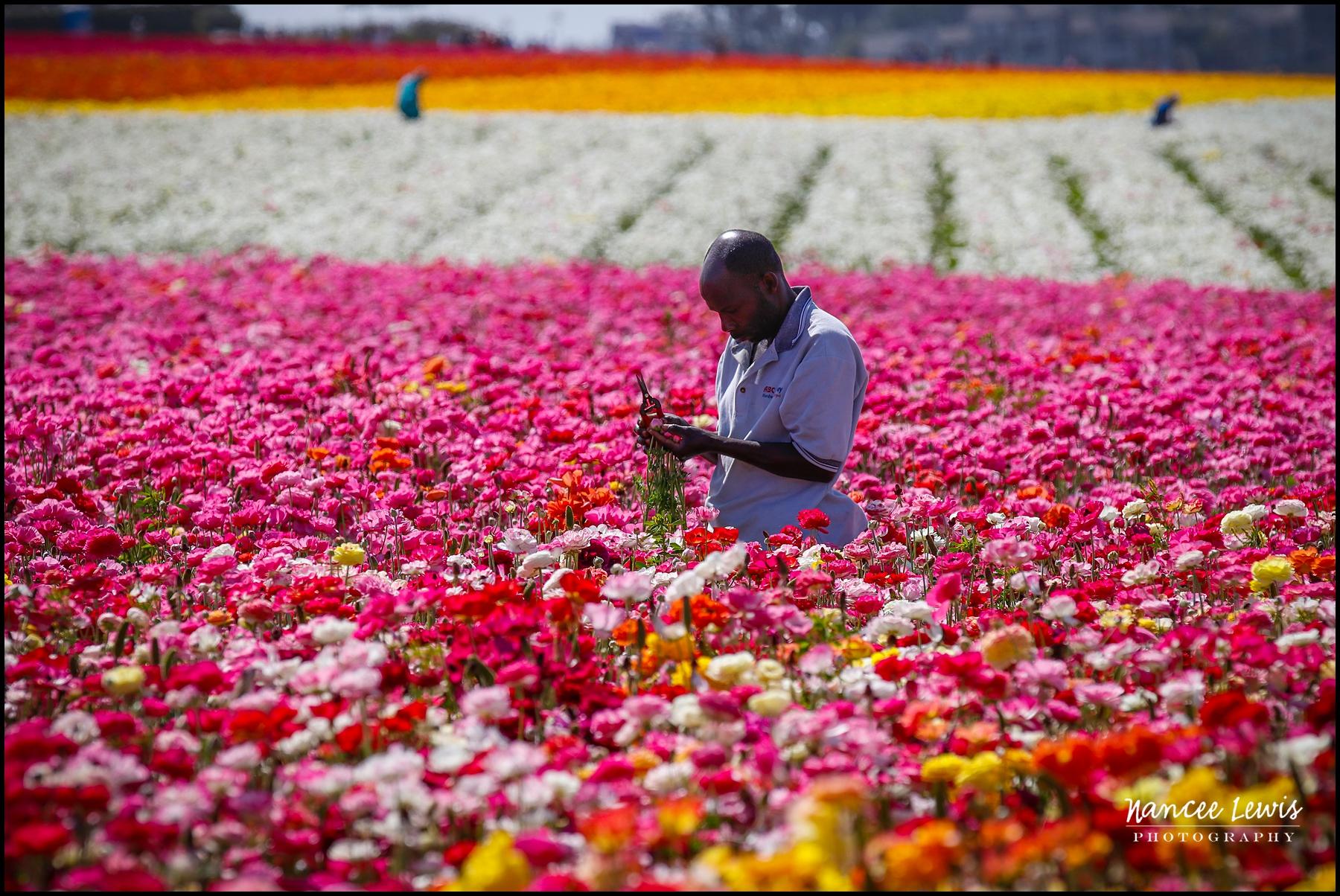 Carlsbad Flower Fields | Nancee Lewis Photography